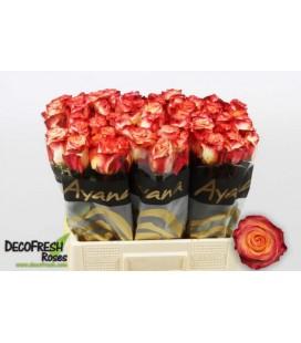 Rose Habari 60 cm