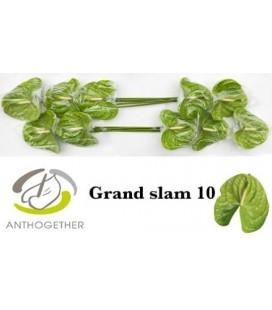 Anthurium Grand slam x 10