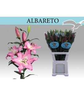 Lys Alberto