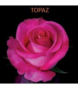 Rose Equat Topaz 60 cm x 12