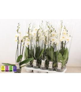 Phalaeno Blanc pot 12 h 45 3 b