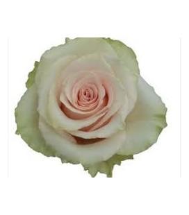 Rose Equat Frutteto 60 cm x 12