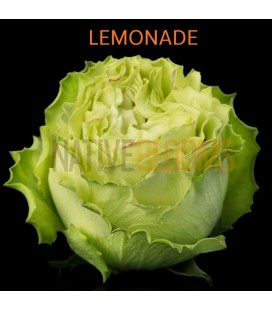 Rose Equat Lemonade 60 cm x 12