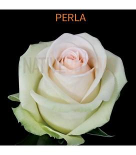 Rose Equateur Perla 50 cm