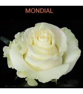 Rose Equateur Mondial 50 cm