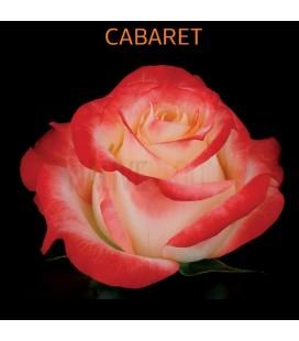 Rose Equateur Cabaret 50 cm