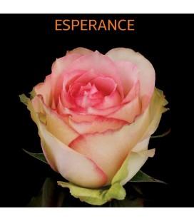 Rose Equateur Esperence 50 cm