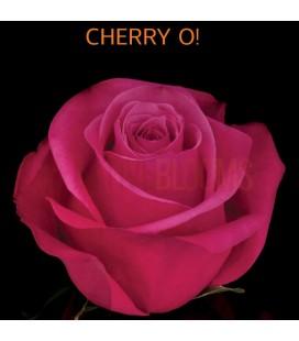 Rose Equateur Cherry O 50 cm