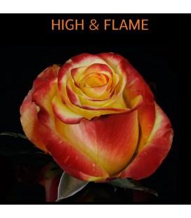 Rose Equateur Higt  et  Flame 50 cm