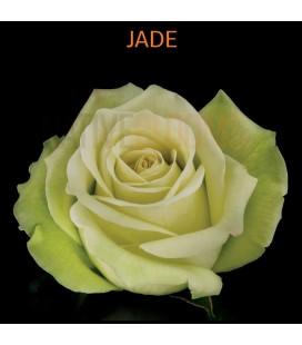 Rose Equat Jade 50 cm x 12