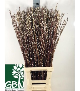 Salix 120 cm
