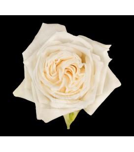 Rose Equat White Ohara 50 cm x 12