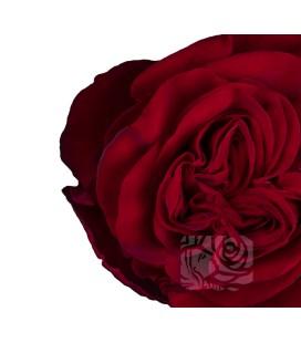 Rose Equat Hearts 60 cm x 12