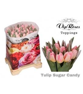 Tulipe Teintée Rose