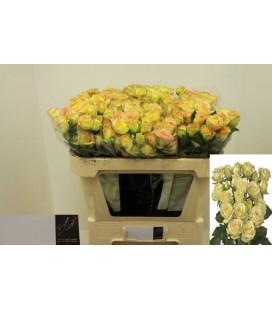 Rose Estevana 70 cm
