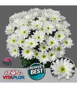 Chrysantheme Life 70 cm