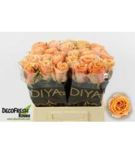 Rose Carpe diem 50 cm
