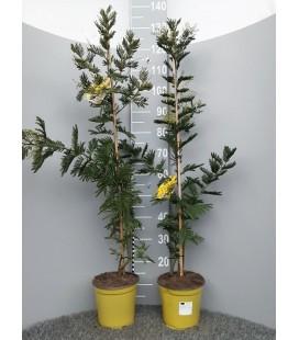 Mimosa Gaulois tuteur pot 19 h 120