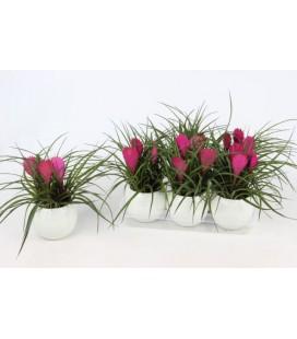 Compo Bromelia pot 10.50 cm