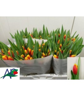 Tulipe Andre Citroen
