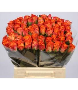 Rose Maryo 40 cm