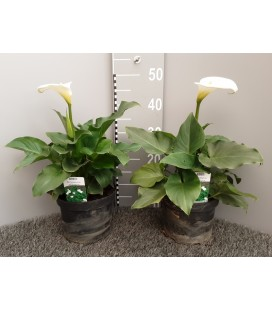 Zantedeschia Pot de 19 h 40