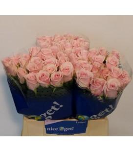 Rose Lazise 40 cm