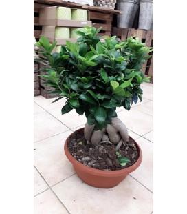 Ficus Gingseng Ø 35 (2000Gr)  ES