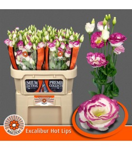Lisianthus Excal Hot lips bicolor