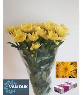 Chrysantheme Delian Yellow