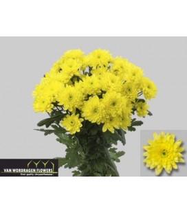 Chrysantheme Euro Sunny