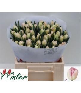 Tulipe double Foxtrot