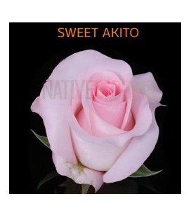 Rose Equat Sweet Akito 50 cm X 25