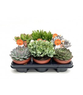 Succulente mix pot de 13