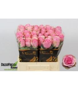 Rose Celebe 40 cm