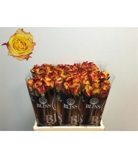 Rose Newsflash 60 cm