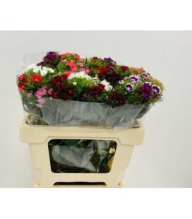 Dianthus barb Mix dans botte 40 cm