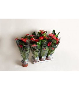 Anthurium Easy Red Ø 17