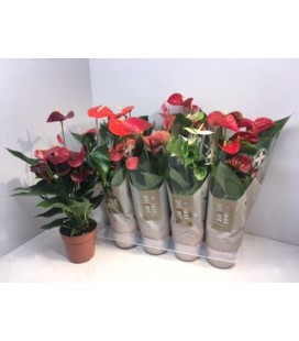 Anthurium Mix 5 coul Ø 12