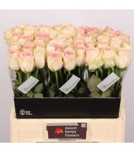 Rose Esperence 60 cm