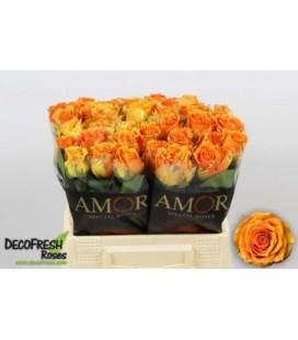 Rose Cosima 40 cm