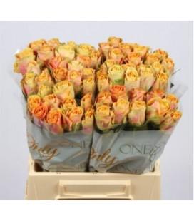 Rose Maracuja 40 cm