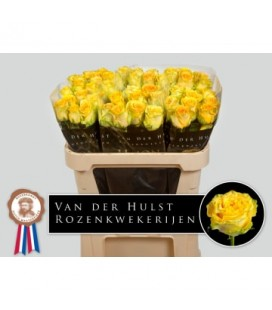 Rose Lemon Finess 70 cm