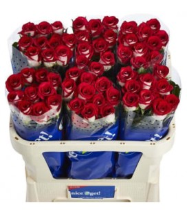 Rose Bluez 70 cm
