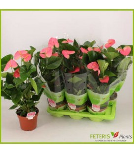 Anthurium Pandola pot de 17