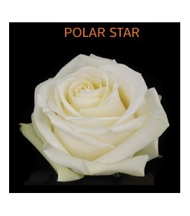 Rose Equateur Polard Star 50 cm
