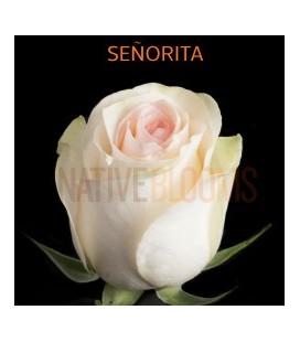 Rose Equateur Seniorita 50 Cm