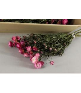 Helichrysum 60 cm pink FS