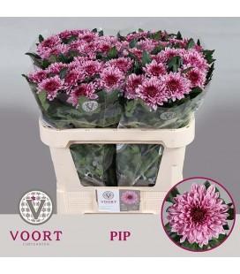 Chrysantheme Pip 70 cm