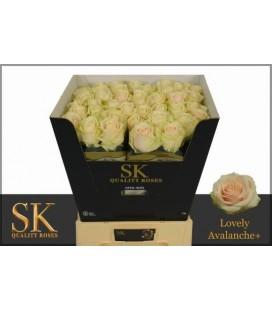 Rose Lovely Avalanche 70 cm